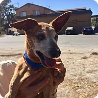 Miniature Pinscher Mix Dog for adoption in Creston, California - Sarge
