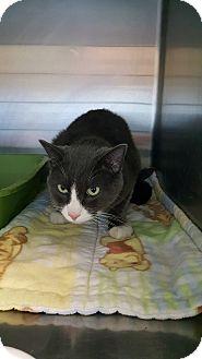 Domestic Shorthair Cat for adoption in Cody, Wyoming - Pixar