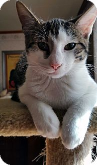Domestic Shorthair Cat for adoption in Little Falls, New Jersey - Carter (JT)