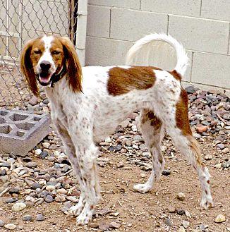 Setter (Unknown Type) Dog for adoption in Phoenix, Arizona - George