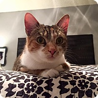 Adopt A Pet :: Scarlett - Bentonville, AR