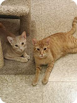 Domestic Shorthair Cat for adoption in Brea, California - JASPER & SIMBA