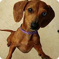 Adopt A Pet :: Ginger Brown - San Antonio, TX