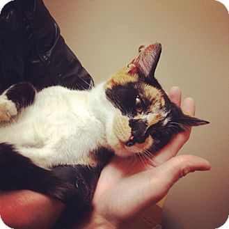 Calico Cat for adoption in Chicago, Illinois - Hula