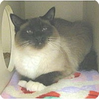 Adopt A Pet :: White Paw - Mesa, AZ