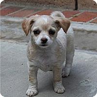 Adopt A Pet :: Camila - La Habra Heights, CA