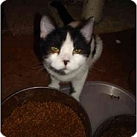 "Domestic Shorthair Cat for adoption in Chesapeake, Virginia - Hannah ""Baby Boo"""