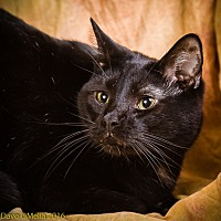Domestic Shorthair Cat for adoption in Anna, Illinois - ALEXANDER