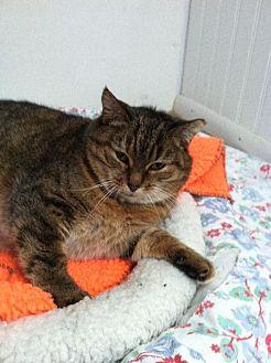 Domestic Shorthair Cat for adoption in MECHANICSVILLE, Virginia - JULIET