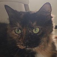 Domestic Mediumhair Cat for adoption in Montreal, Quebec - Sari