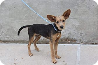 Terrier (Unknown Type, Small)/Chihuahua Mix Puppy for adoption in Middlebury, Connecticut - Chase