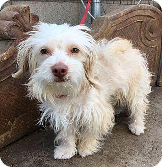 Maltese/Poodle (Miniature) Mix Dog for adoption in Santa Ana, California - Milo