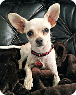 Chihuahua Mix Dog for adoption in McKinney, Texas - Fievel