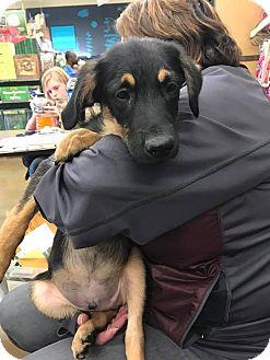 German Shepherd Dog/Terrier (Unknown Type, Medium) Mix Puppy for adoption in ST LOUIS, Missouri - Ezekiel