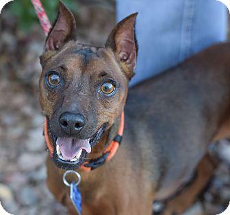 Miniature Pinscher Dog for adoption in Gilbert, Arizona - Sammy