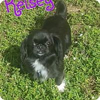 Adopt A Pet :: Kelsey - Wellington, FL