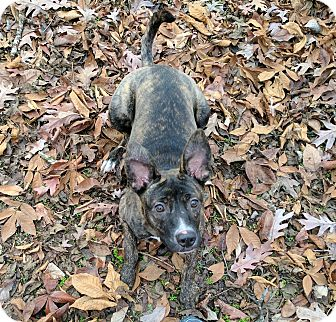 Mountain Cur/Whippet Mix Dog for adoption in Foster, Rhode Island - Rudolph