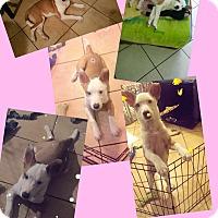 Adopt A Pet :: Stawerberry - LAKEWOOD, CA
