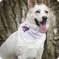 German Shepherd Dog/Australian Cattle Dog Mix Dog for adoption in Gretna, Nebraska - Bodhi