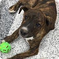 Adopt A Pet :: Cole - Tucson, AZ