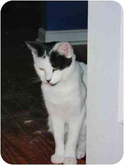 Siamese Cat for adoption in Woodstock, Virginia - Juliet