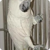 Cockatoo for adoption in Northbrook, Illinois - Mickey