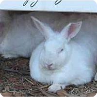 Adopt A Pet :: Caliope - Santee, CA