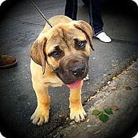 Adopt A Pet :: Jordan~ adoption pending - Phoenix, AZ