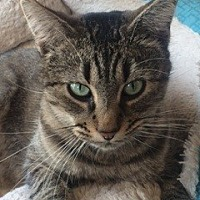 Domestic Mediumhair Cat for adoption in Thibodaux, Louisiana - Gee Gee FE2-9280