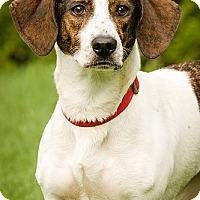 Adopt A Pet :: Maci - DRD program - Owensboro, KY
