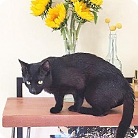 Domestic Shorthair Cat for adoption in Oakland, California - Smith