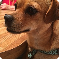 Adopt A Pet :: Honey Bear - Everett, WA