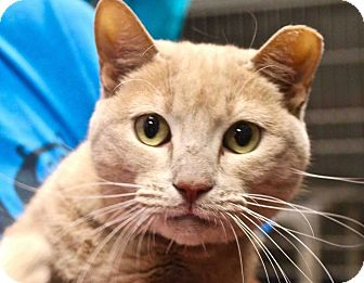 Domestic Shorthair Cat for adoption in Lansing, Kansas - Mimi