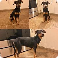 Adopt A Pet :: Champ - WAGONER, OK