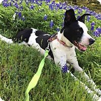 Adopt A Pet :: Lacey - Austin, TX