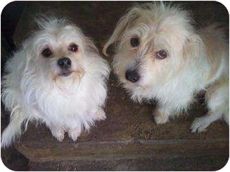 Maltese/Terrier (Unknown Type, Small) Mix Dog for adoption in Houston, Texas - MILI