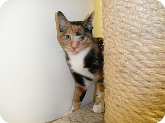 Domestic Shorthair Cat for adoption in Milwaukee, Wisconsin - Jazlyn