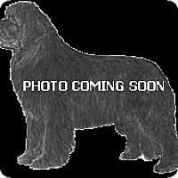 Adopt A Pet :: Newfy - NATIONWIDE, OH