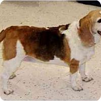 Adopt A Pet :: Miss Patches - Phoenix, AZ