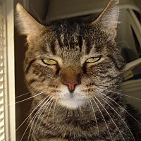 Domestic Shorthair Cat for adoption in Winston-Salem, North Carolina - Rocky