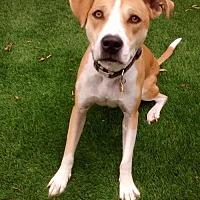 Pit Bull Terrier/Beagle Mix Dog for adoption in Chandler, Arizona - TASHI