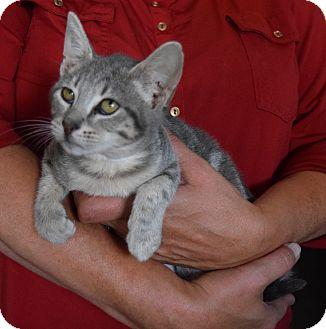 Domestic Shorthair Kitten for adoption in Surrey, British Columbia - Doodlebug