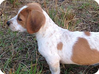Basset Hound/Spaniel (Unknown Type) Mix Dog for adoption in Crestview, Florida - Abby