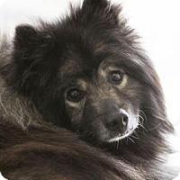 Keeshond Dog for adoption in Colorado Springs, Colorado - Emery