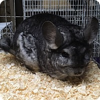 Adopt A Pet :: 6-7 year old grey F chinchilla - Hammond, IN