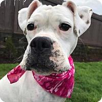 Adopt A Pet :: Britney - Woodinville, WA