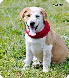 Great Pyrenees Mix Puppy for adoption in Manchester, Connecticut - River in Ct