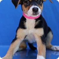 Adopt A Pet :: Cheyenne - Waldorf, MD