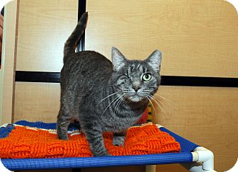 Domestic Shorthair Cat for adoption in Farmingdale, New York - Belle