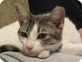 Domestic Shorthair Cat for adoption in Bentonville, Arkansas - Willow